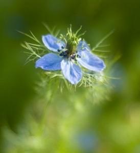 bunga habbatusauda