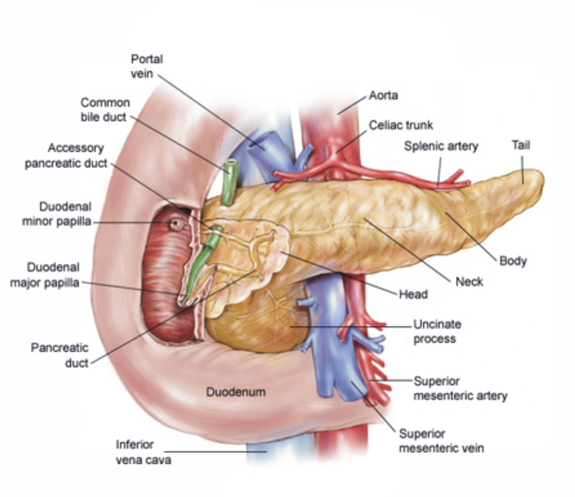 Atemberaubend Pankreas Diagramm Bilder - Menschliche Anatomie Bilder ...
